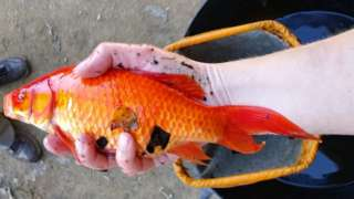 Rushy Pond goldfish