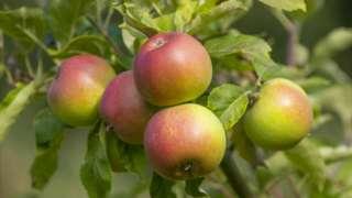 """Яблоки на ветке. Сорт - """"Красный Виндзор""""."""