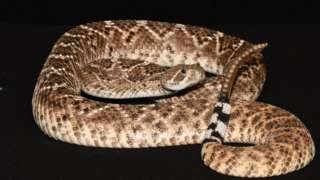 Nature: Rattlesnakes' sound 'trick' fools human ears