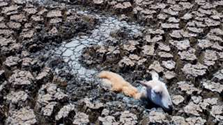 A sheep is stuck in drying mud in the drainage canal of Lake Cawndilla, Australia, 10 January 2019