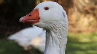 Cuthbert the goose