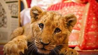 شیر کے بچے کے ساتھ شادی کی ویڈیو اور تصاویر