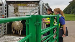 Cumbria police officers inspecting sheep in trailor