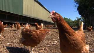 Hens on poultry farm