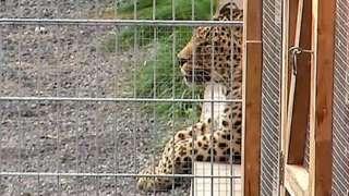 A leopard lies in its enclosure in Nebra