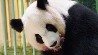 Panda gigante carrega filhotes rosados na boca
