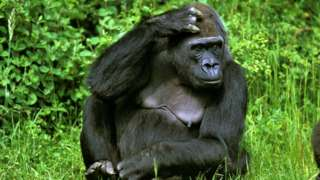 A gorilla sits in the grass