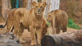 File image: Lions at a zoo in Tenerife, Spain