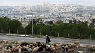 Cattle graze as a man walks by in the Givat Hamatos area near East Jerusalem (15 November 2020)