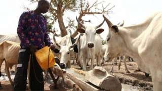 Cattle herder with im white herds of cattle