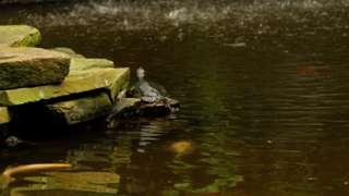 A terrapin basking
