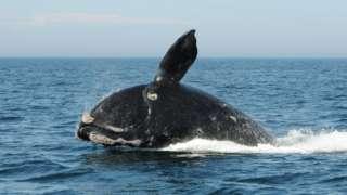 File photo: A North Atlantic Right Whale