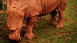 A rhino at South Lakes zoo