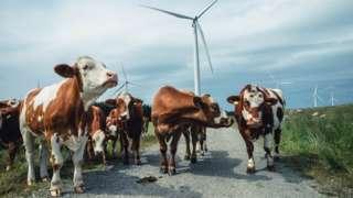 Cows walking between wind turbines in Norway