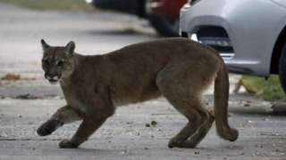 File picture of mountain lion
