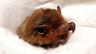 Nathusias bat