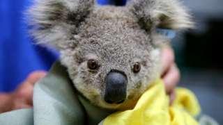 A koala rescued from Australia's recent bushfires