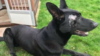 Police dog Stark is recovering at home
