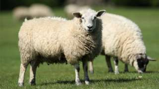 Two sheep grazing in a field