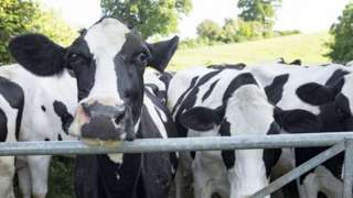 Stock picture of cows