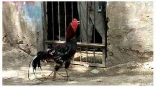 हिरासत में मुर्ग़ा