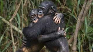 chimps-hugging