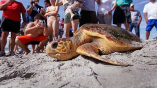 Loggerhead turtle being returned to the sea