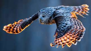 Ural owl in flight (c) Science Photo Library