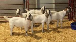 The goats have been gene-edited