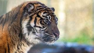 Shakira the Sumatran tiger