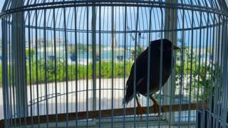Juji the mynah bird, inside his cage at the residence of the French ambassador to the United Arab Emirates