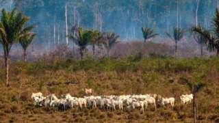 Cattle graze in the Amazon basin