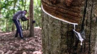 种植农户小心割开橡胶树皮,收集树干流出的橡胶乳液。这就是天然橡胶。