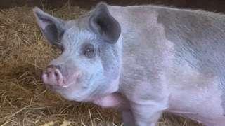 Hammy the pig