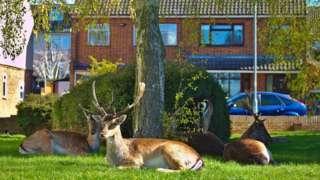 Deer rest on a housing estate