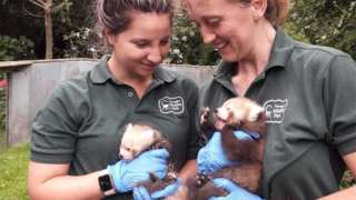 Park keepers holding red panda cubs