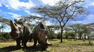 Najin and Fatu grazing under the trees.