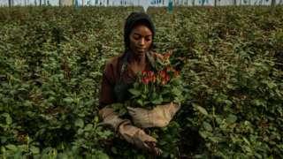 A woman picks roses at a greenhouse in Kenya