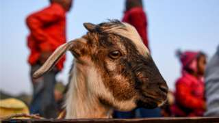 A goat travels in a vehicle ahead of Gadhimai Festival in Baryarpur, 160 kms south of the Kathmandu, on December 2, 2019.