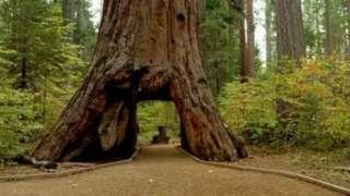 Дерево прославилось завдяки арці, через яку могло проїхати авто