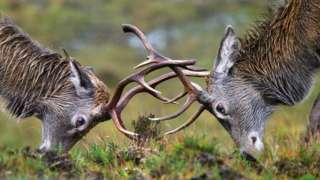 Stags rutting