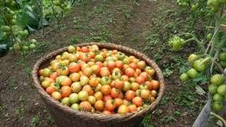 तरकारी खेती