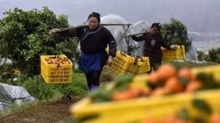 貴州榕江縣忠誠鎮王嶺村砂糖橘種植基地,果農在挑運砂糖橘。
