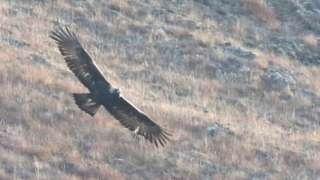 Golden eagle in Hoy
