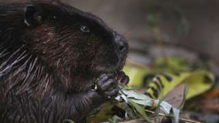 File photo of a beaver in Canada