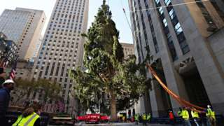 The Rockefeller Center Christmas Tree arrives at Rockefeller Plaza and is craned into place on 14 November, 2020 in New York City.