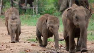 Baby elephants walk into the Udawalawe Elephant Transit Home to drink milk in Udawalawe, about 160 kilometers southeast of Colombo on August 24, 2019. The Elephant Transit Home in Udawalawe National Park was established in 1995 to rehabilitate orphaned or sick elephants and then release them back into the wild. The Wildlife Conservation Department has planned to conduct an island-wide census on wild elephants on the 13th and 14th of September 2019. The previous census of wild elephants was conducted by the Wildlife Department back in 2011 and the number of wild elephants in the country was calculated at 5879. (Photo by Sanka Vidanagama/NurPhoto via Getty Images)