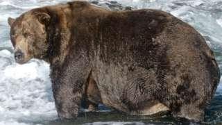 棕熊要大量进食准备冬眠(Credit: N. BOAK/KATMAI NATIONAL PARK AND PRESERVE)