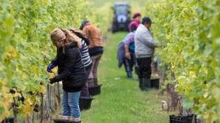 Workers picking grapes at a Hampshire vineyard