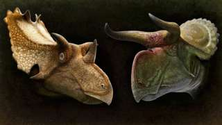 Two illustrations of ceratopsian dinosaur heads - to the left a sandy coloured one with three horns and a spiky frill, to the right a green and reddish one with two curved horns and a flat frill